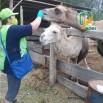 фото верблюды.jpg